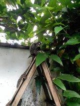 Macacos desayunando - Macacos having breakfast